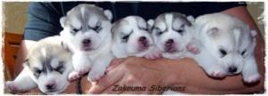 cachorros5